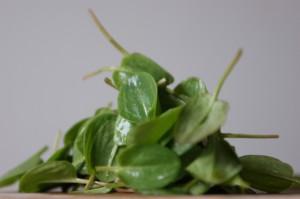 Ein Häufchen Blätter vom Sauerampfer